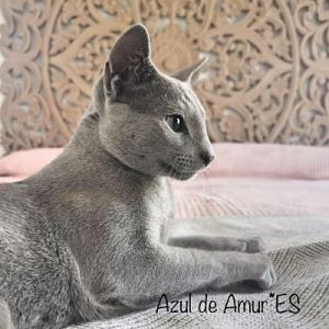 Criadero Gatos Azul Ruso, Criador Barcelona