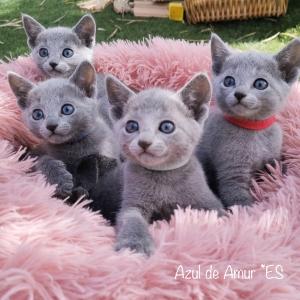 Blue Russian Cata spain
