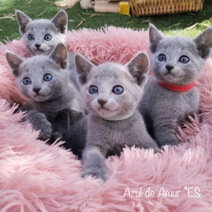 Cachorros Raza Azul Ruso